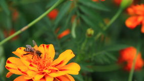 Bee on tagetes Royalty Free Stock Photos