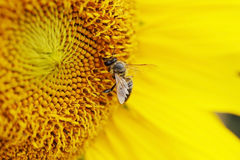 Bee takes pollen Stock Photography