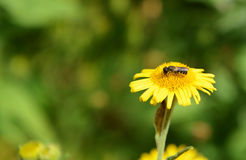Bee taking nectar from a fleabane flower Stock Photography