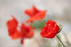 Bee taking-off from a poppy stock images