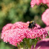 Bee taking off from a sedum flower. A bee about to take off from a pink sedum flower in a domestic garden in summer Royalty Free Stock Photos