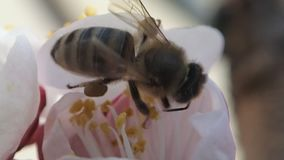 Bee taking pollen from a bloomed flower stock footage