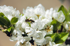 Bee taking pollen from white apple blossom Stock Photo