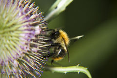 Bee on Teasel Royalty Free Stock Image