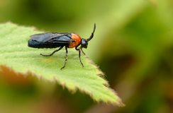 Bee(Tenthredinidae;sawflies) Royalty Free Stock Photography