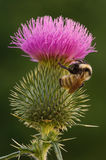 Bee on Thistle Royalty Free Stock Photos