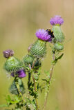 Bee on a thistle royalty free stock image