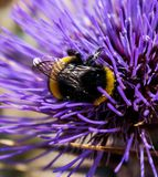 Bee on a Thistle Stock Images