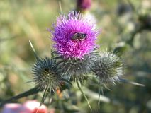 Bee in a Thistle Blossom. A honeybee on a thistle blossom against a blurred background Stock Photos