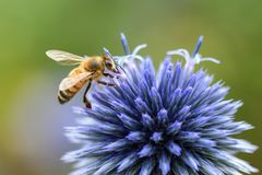 Bee, Thistle, Blue, Insect, Forage Stock Images