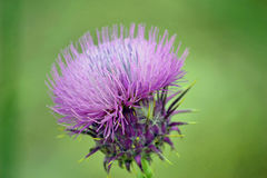 Bee Thistle. Close-up of a Milk Thistle stock image