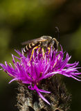 Bee on thistle Stock Photos