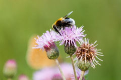 Bee. On thistle flower collecting pollen stock photography