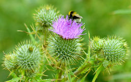 Bee on a thistle 3. A bee on a Thistle Flower collecting pollen Stock Photo