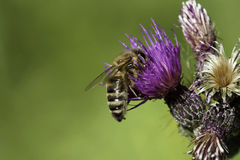Bee on thistle flower. Macro of a bee collecting pollen Royalty Free Stock Images