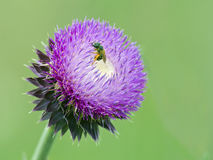 A bee on a Thistle Flower Stock Photos