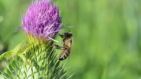 Bee on a thistle flower. stock video