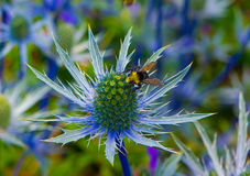 Bee on Thistle. Garden of blue thistles and bees on hot summer day stock image