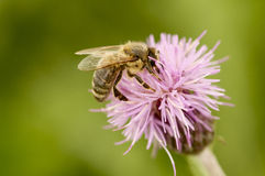 Bee on thistle. A honey beee on a thistle Stock Photography