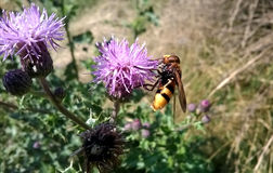 Bee on thistle Stock Photography