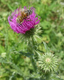 Bee and thistle Stock Photo