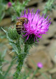 Bee and thistle Royalty Free Stock Photos