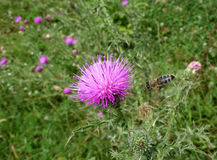 Bee and thistle Stock Photography