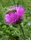 Bee and thistle Stock Images