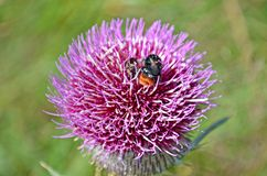 Bee in a thistle. A bee sucking nectar of purple thistle stock images