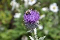 Bee on Thistle Royalty Free Stock Images