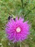 Bee on Thistle Stock Photos
