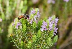 Bee on thyme Stock Image