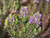 Bee on thyme Royalty Free Stock Photos