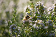 Bee on Thymus Flower. On Sunset Royalty Free Stock Photo
