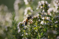 Bee on Thymus Flower. On Sunset Stock Photography