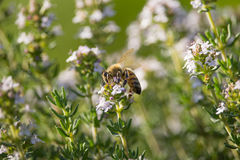 Bee on Thymus Flower. On Sunset Royalty Free Stock Images