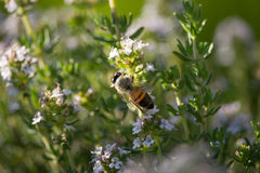 Bee on Thymus Flower. On Sunset Royalty Free Stock Image