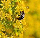 Bee thyreus histrionicus on aeonium flowers. Bee thyreus histrionicus on wild flowers of aeonium undulatum Royalty Free Stock Photos