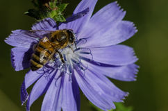 Bee Tirelessly Gathering Pollen from a Tiny Blue Flower Royalty Free Stock Photography