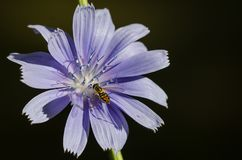 Bee Tirelessly Gathering Pollen from a Tiny Blue Flower stock photo