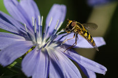 Bee Tirelessly Gathering Pollen from a Tiny Blue Flower royalty free stock image