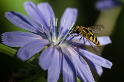 Bee Tirelessly Gathering Pollen from a Tiny Blue Flower Stock Photography