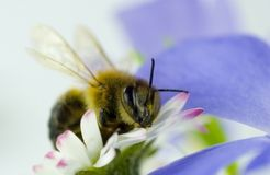 Bee to flower. Bee sits on a flower Royalty Free Stock Image