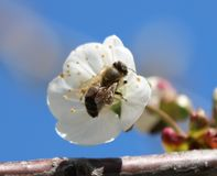 bee toiler, working on a spring day stock image