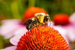 A bee on top of an Echinacea cone flowerflower royalty free stock image