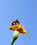 Bee on top of a marigold Royalty Free Stock Image