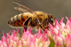Bee on top of pink flower. Macro picture sitting on top of pink flower Royalty Free Stock Images