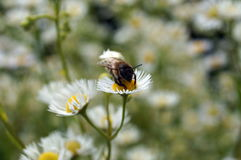 Bee with transparent wings sits on a glade Royalty Free Stock Image
