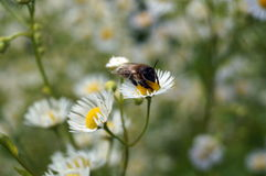 Bee with transparent wings sits on a glade Royalty Free Stock Photo