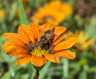Bee on a Treasure Flower Royalty Free Stock Images